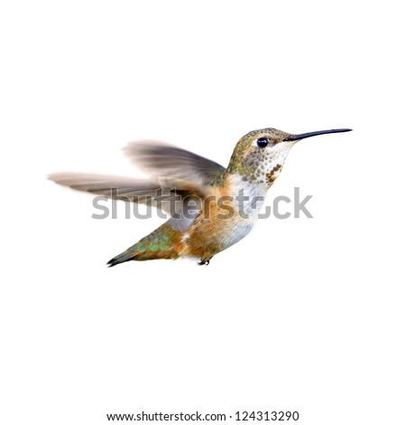 Rufous Hummingbird isolated on white