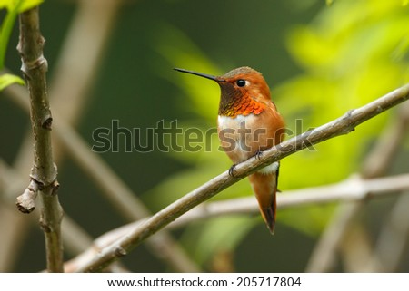 Rufous Hummingbird male perched on a twig - stock photo