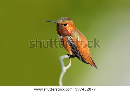 Rufous Hummingbird, Male. sitting on a Branch, with green background