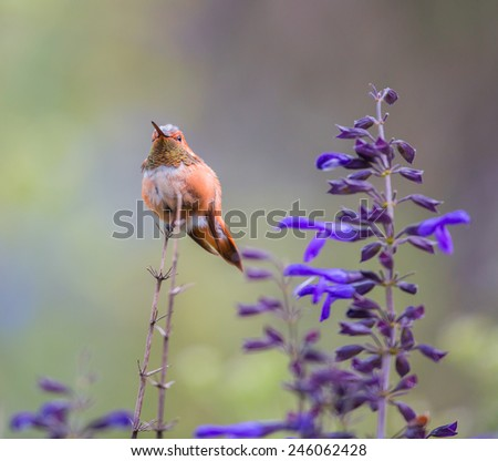 Rufous Hummingbird (male) This would make a good subject for a painting or watercolor. The bird sat in the afternoon sun protecting his crop of flowers from all intruders. His throat shone brightly. - stock photo
