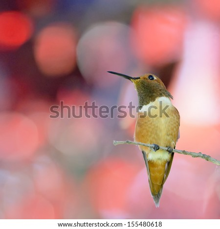 Rufous Hummingbird perching in red leaves - stock photo