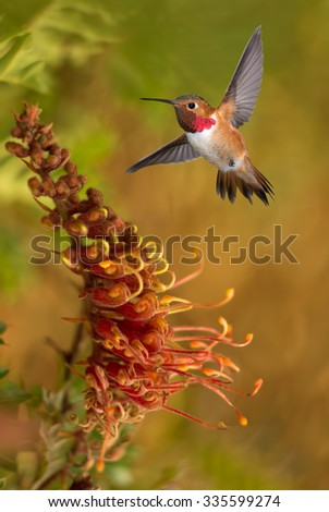Rufous Hummingbird (selasphorus rufus) in flight  - stock photo