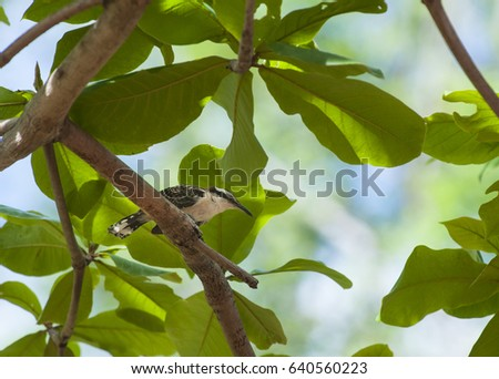 Rufous-naped wren sits on a branch in an almond tree