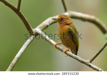 Rufous Piculet  - stock photo