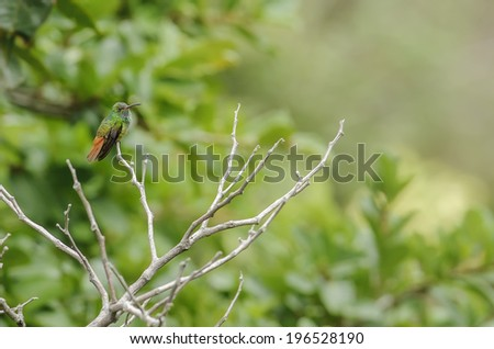 Rufous tailed hummingbird perched in a tree photographed in Costa Rica. - stock photo