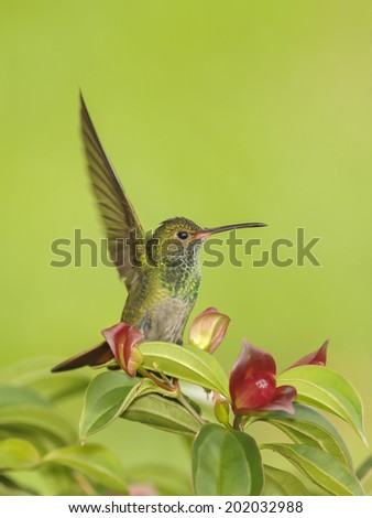 Rufous tailed hummingbird perching in a colorful tree photographed in Costa Rica.
