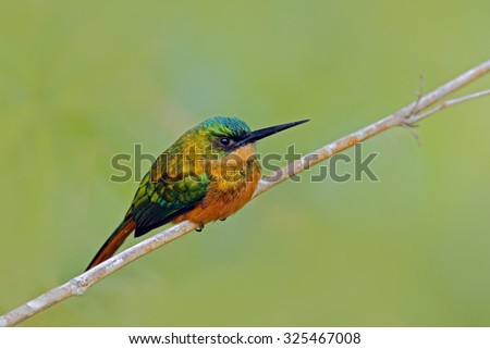 Rufous-tailed Jacamar, Galbula ruficauda, exotic bird sitting on the branch with clear green background, Trinidad and Tobago