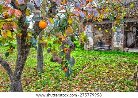 Ruined farmhouse and persimmon,  Diospyros kaki, tree with brown  branches, orange fruit and  autumn leaves in Italian countryside - stock photo