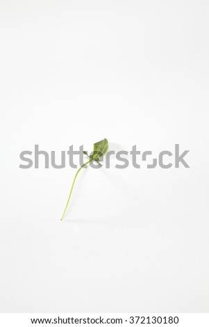Rumex acetosella - stock photo