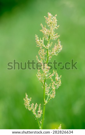 Rumex acetosella in the meadow under the warm spring sun - stock photo