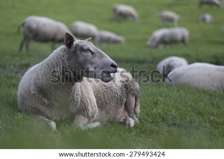 Ruminating sheep lying in grass with other sheep - stock photo