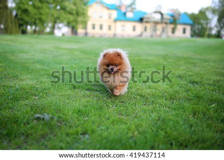 Runnig dog. Pomeranian dog. Beautiful dog.  - stock photo