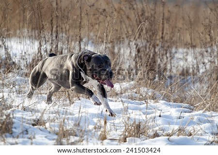 Running American staffordshire terrier in winter