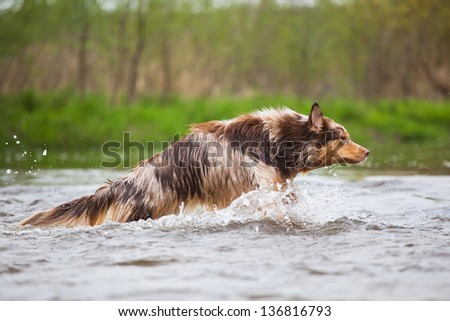 running Australian Shepherd in a river