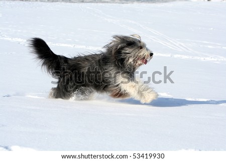 Running Beardie - stock photo