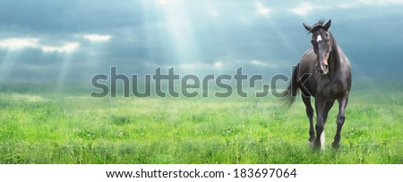 running black horse Warmblooded at morning field, banner for website - stock photo