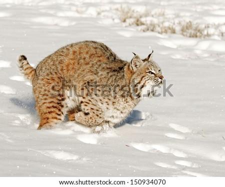 Running Bobcat - stock photo