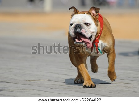 Running bulldog; Playful English Bulldog running - stock photo