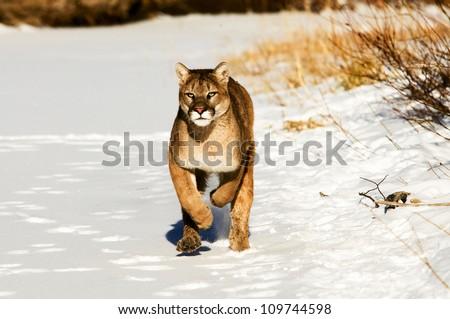 Running Cougar - stock photo