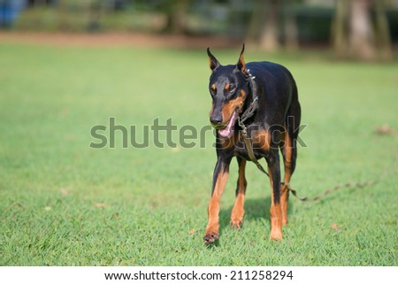 Running Doberman