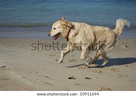 Running dog at the beach