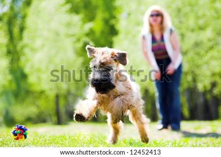 Running dog on green grass and ball (Irish soft coated wheaten terrier) - stock photo