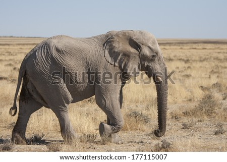 Running elephant in etosha national park