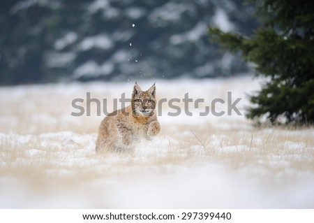Running eurasian lynx cub on snowy ground. Cold winter season. Freezy weather. - stock photo
