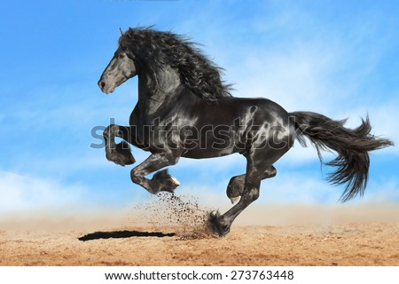 Running gallop black Friesian horse - stock photo