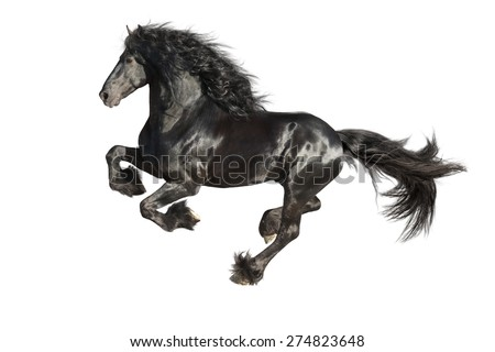 Running gallop Friesian black horse isolated on the white - stock photo