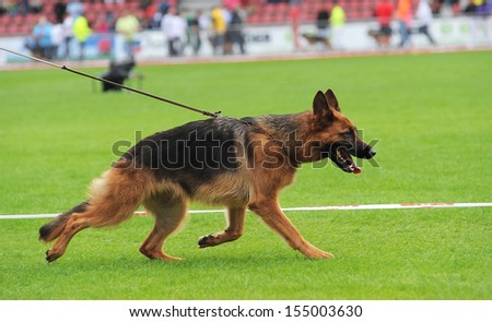 Running german shepherd dog in stadium