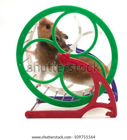running hamster on white background - stock photo