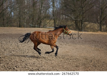 Running horse on the meadow at spring time - stock photo