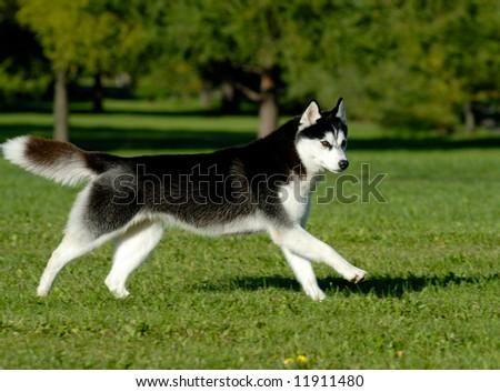 Running husky - stock photo