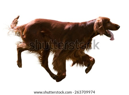 Running Irish Setter, isolated over white  background - stock photo