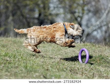 Running Irish Soft Coated wheaten terrier - stock photo