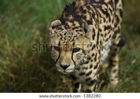Running King Cheetah