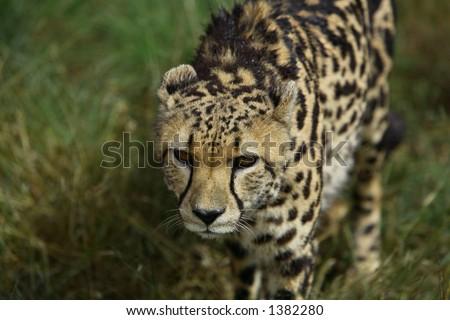 Running King Cheetah - stock photo