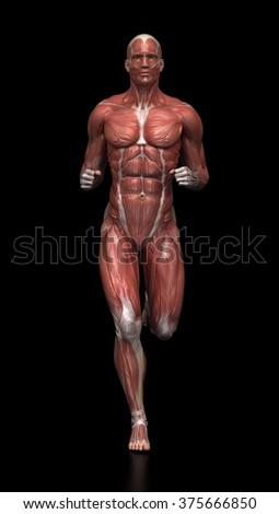 Running man - muscle anatomy - stock photo