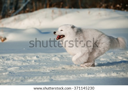 running on snow-covered park Samoyed. Samoyed in motion. Active Walk Samoyed in the snow park. Cheerful winter dog
