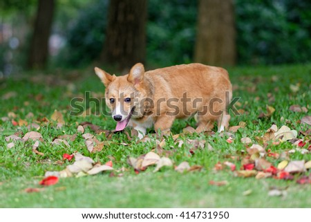 Running pembroke welsh corgi dog