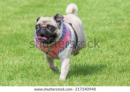Running pug dog with fancy dirndl dress and  Edelweiss brooch on Oktoberfest - stock photo