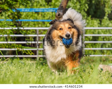 Running sheepdog with ball in mouth. - stock photo