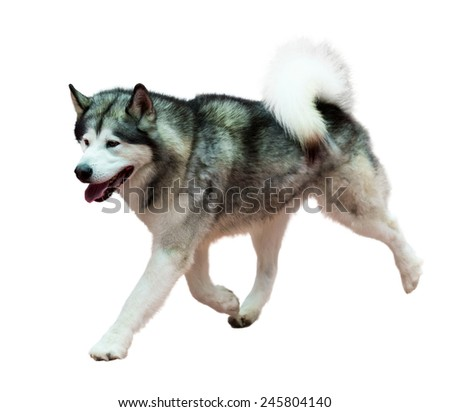 Running Siberian Husky, isolated on white