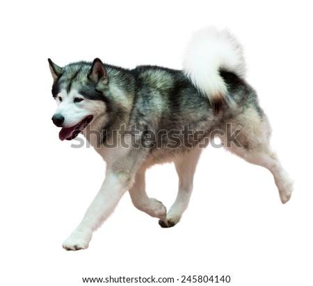 Running Siberian Husky, isolated on white  - stock photo