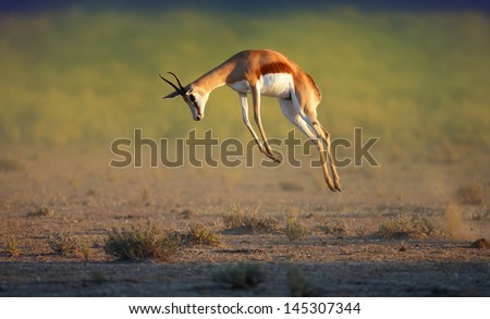 Running Springbok jumping high - Antidorcas Marsupialis - Kalahari -  South Africa - stock photo
