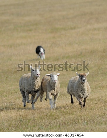 Running the Sheep (Ovus aries) In - sheep herding dog takes trio of sheep across pasture - motion blur & dog completely out of focus - stock photo