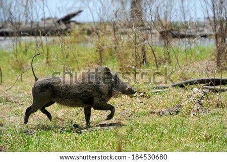 Running warthog on the National Park, Kenya - stock photo