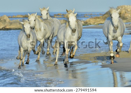 Running White Horses of Camargue. France  - stock photo