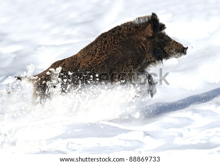 running wild boar - stock photo